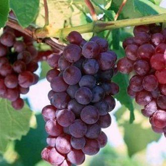 Виноград Александр