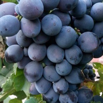 Виноград Гала-1