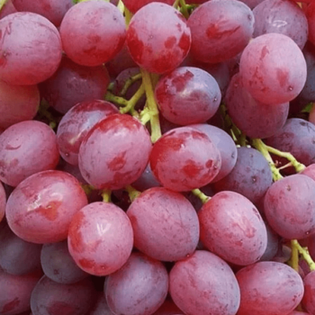 Виноград Кишмиш Велес-2