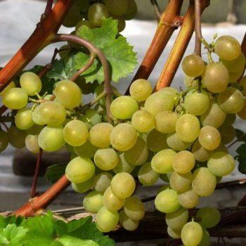 Виноград Кристалл-2