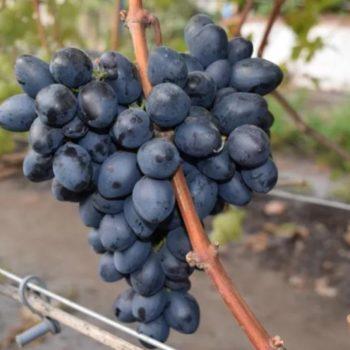 Виноград  Махаон-1