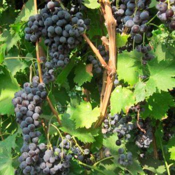 Виноград Мускат черный (Мускатный черный)-1
