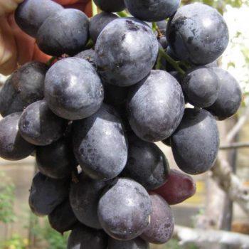 Виноград Руслан-2