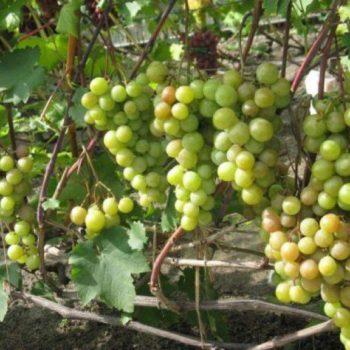 Виноград Русвен-2
