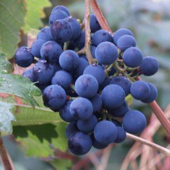 Виноград  Северный-2
