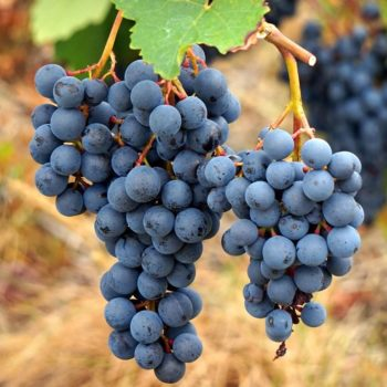 Виноград Агат донской-1