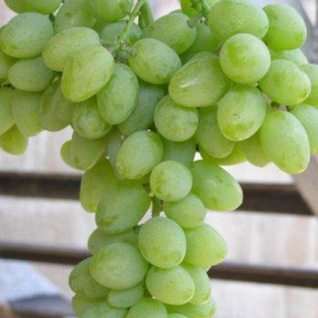 Виноград Элегант-1