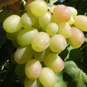 Виноград Кеша-2