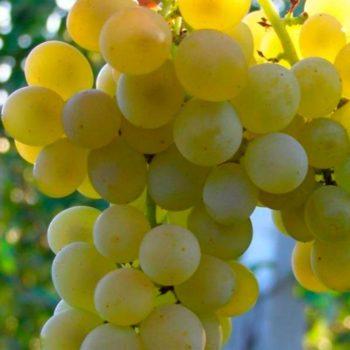 Виноград Кристалл-1