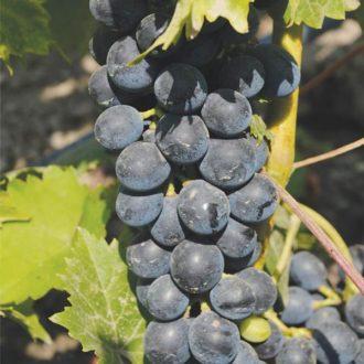 Виноград Мускат черный (Мускатный черный)