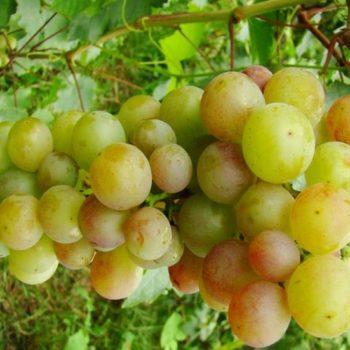 Виноград Русвен-1