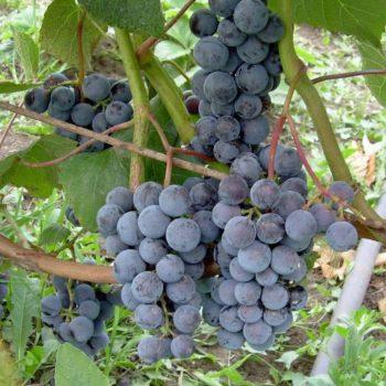 Виноград Таежный-2