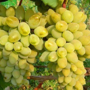 Виноград Тимур-2