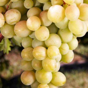 Виноград Восторг белый-2