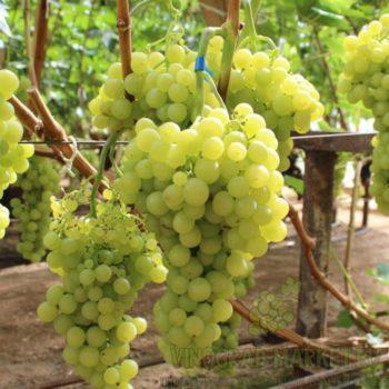 Виноград Янтарный-2