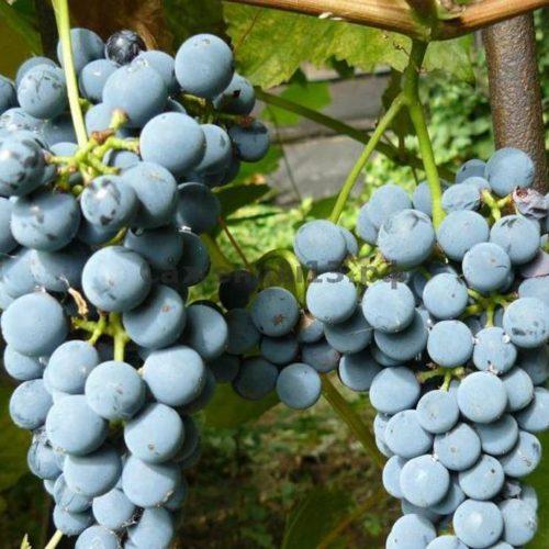 Виноград Таежный