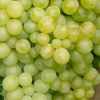 Виноград Восторг белый-1