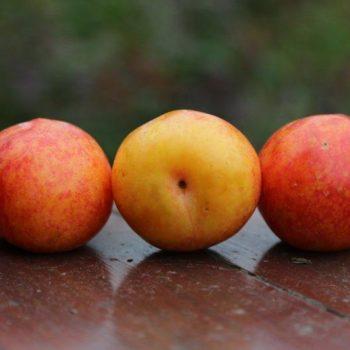 Шарафуга (гибрид абрикоса, сливы и персика — Bella Gold)-1