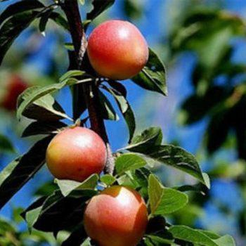 Шарафуга (гибрид абрикоса, сливы и персика — Bella Gold)-2