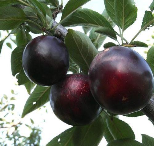 Шарафуга (гибрид сливы, персика и абрикоса — Velvet Sunrise)