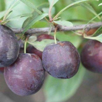 Сливово-вишневый гибрид Крошка-1