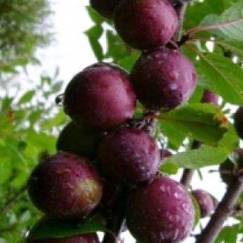 Сливово-вишневый гибрид Крошка-2
