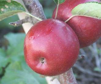 Яблоня колоновидная Телеймон-1
