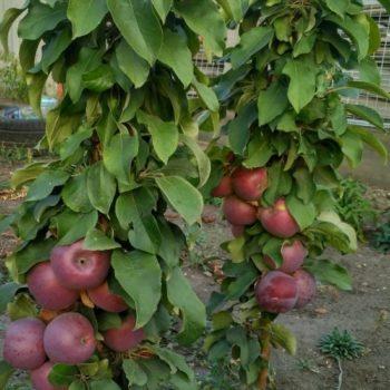 Яблоня колоновидная Телеймон-2