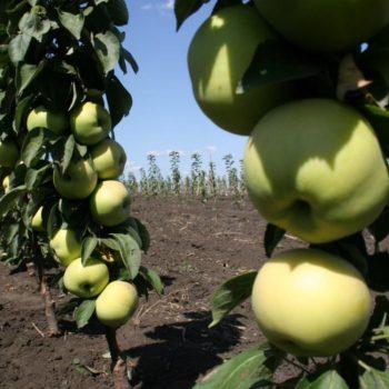 Яблоня колоновидная Сладкий Викич-2