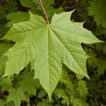 Клён остролистный (Acer platanoides)-2