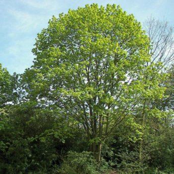 Клён остролистный (Acer platanoides)-1