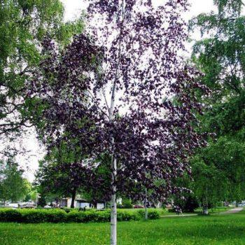 Береза повислая purpurea-1