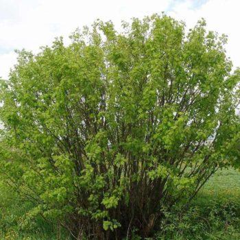 Акация древовидная (arborescens)-2