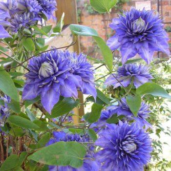 Клематис Мульти Блю (Multi Blue)-2