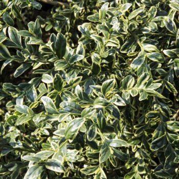 Самшит вечнозеленый Ауреявариегата-2