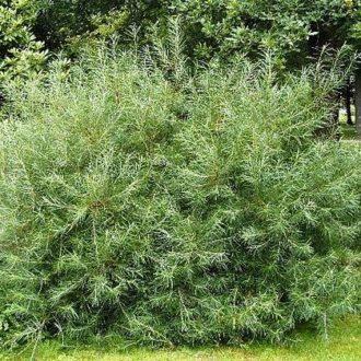 Ива розмаринолистная (Salix rosmarinifólia)