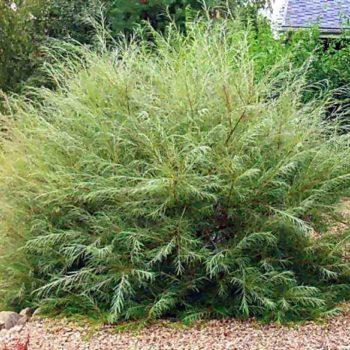 Ива розмаринолистная (Salix rosmarinifólia)-1