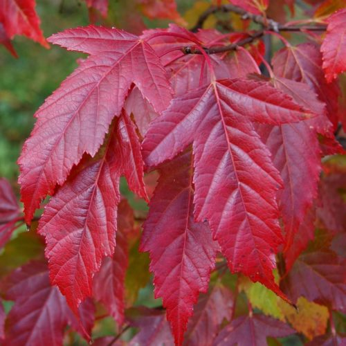 Клён гиннала (Acer ginnala)
