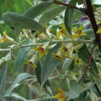 Лох узколистный (Elaeagnus angustifolia)-2