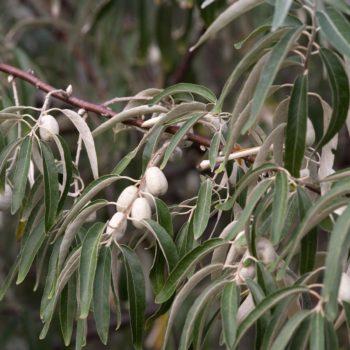Лох узколистный (Elaeagnus angustifolia)-3