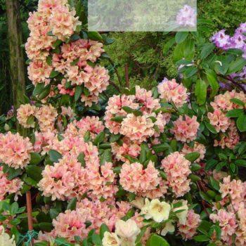 Рододендрон Бразилия (Rhododendron Brasilia) гибридный-1