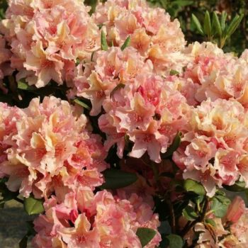 Рододендрон Бразилия (Rhododendron Brasilia) гибридный-2
