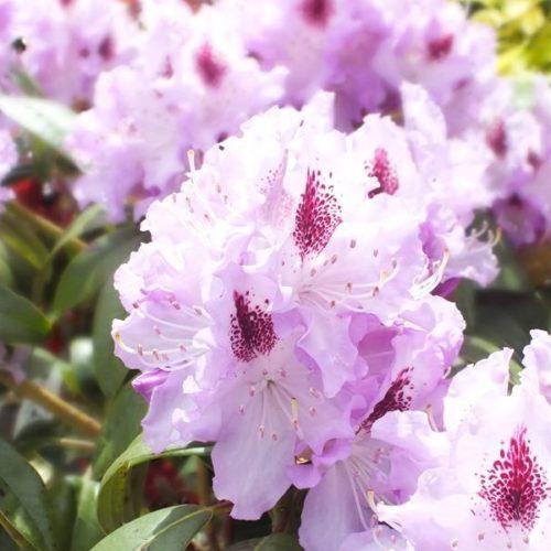 Рододендрон Блю Питер (Rhododendron Blue Peter) гибридный