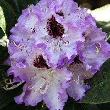 Рододендрон Блю Питер (Rhododendron Blue Peter) гибридный-1