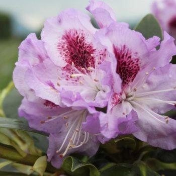 Рододендрон Блю Питер (Rhododendron Blue Peter) гибридный-2