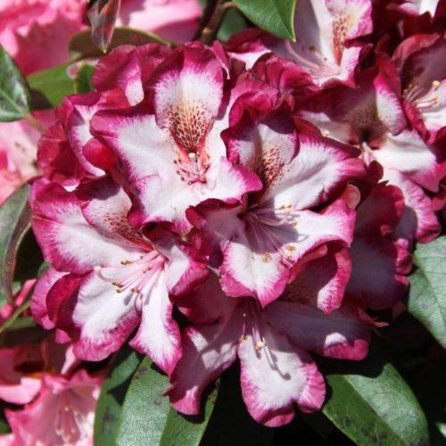 Рододендрон Миднайт Мистик (Rhododendron Midnight Mystique) гибридный