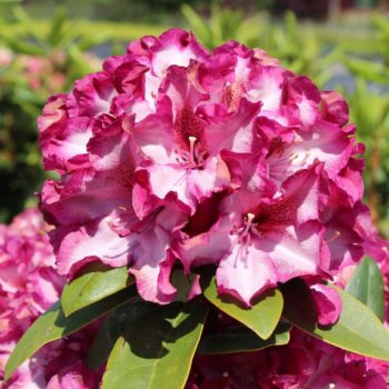 Рододендрон Миднайт Мистик (Rhododendron Midnight Mystique) гибридный-1