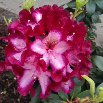 Рододендрон Миднайт Мистик (Rhododendron Midnight Mystique) гибридный-2