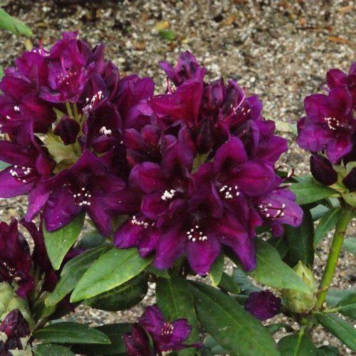Рододендрон Полярная ночь (Rhododendron Polarnacht) гибридный