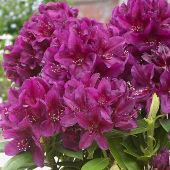 Рододендрон Полярная ночь (Rhododendron Polarnacht) гибридный-1